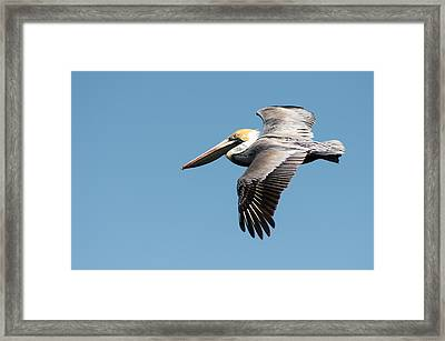 Brown Pelican In Flight Framed Print by Gregg Southard