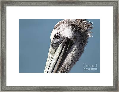 Brown Pelican In Profile 7d21771 Framed Print by Wingsdomain Art and Photography