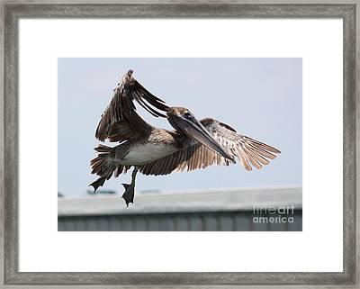 Brown Pelican Landing Framed Print by Carol Groenen