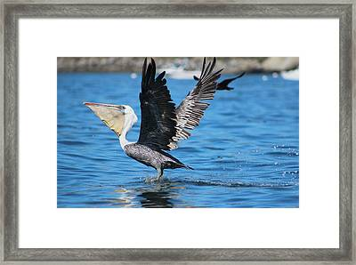 Brown Pelican Landing Framed Print