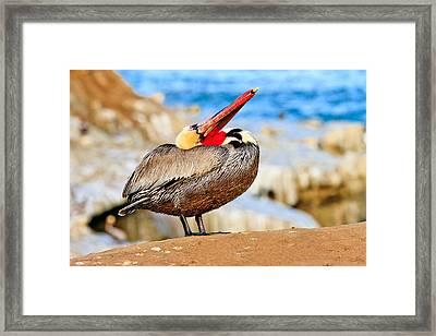 Brown Pelican Mating Season Display Framed Print
