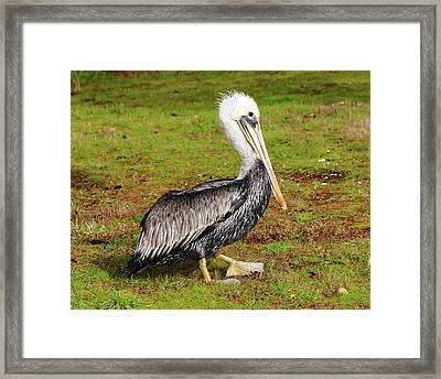 Brown Pelican, Newport, Oregon, Usa Framed Print