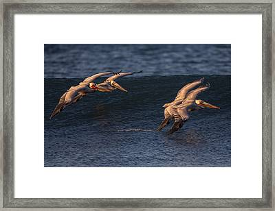 Framed Print featuring the photograph Brown Pelican Pairs 73a2331 by David Orias