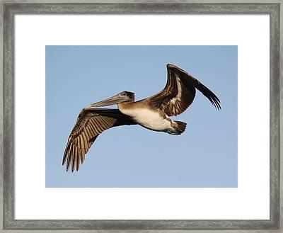 Brown Pelican Framed Print by Paulette Thomas