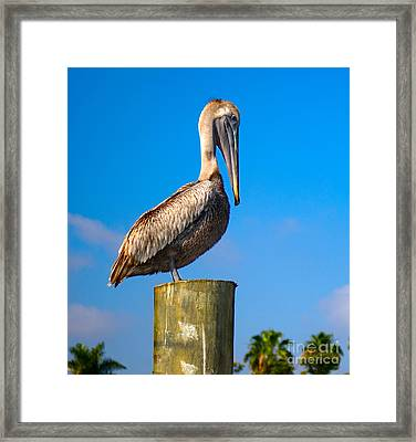 Framed Print featuring the photograph Brown Pelican - Pelecanus Occidentalis by Carsten Reisinger