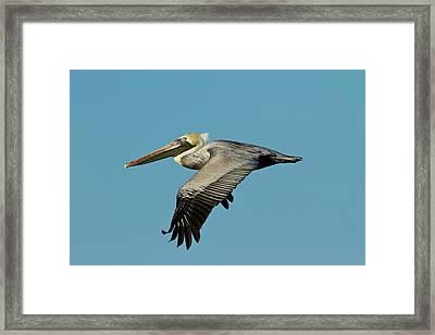 Brown Pelican (pelecanus Occidentalis Framed Print