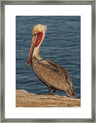 Framed Print featuring the photograph Brown Pelican Portrait 2 by Lee Kirchhevel