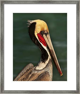 Brown Pelican Portrait Framed Print