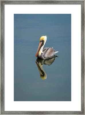 Brown Pelican Reflection Framed Print