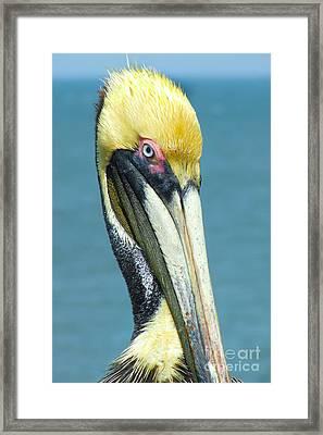 Brown Pelican Framed Print by Stuart Mcdaniel