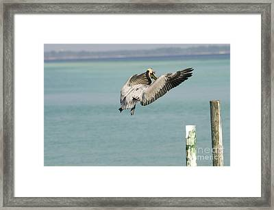 Brown Pelican Framed Print by William H. Mullins