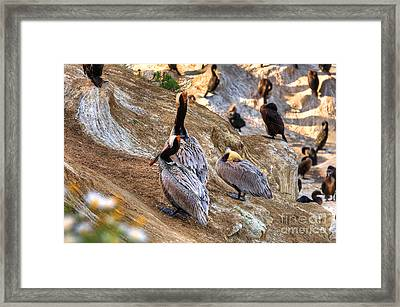 Framed Print featuring the photograph Brown Pelicans At Rest by Jim Carrell