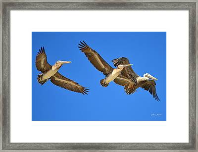 Brown Pelicans In Flight Framed Print by Debra Martz