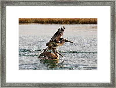 Brown Pelicans In The Marsh Framed Print by Paulette Thomas