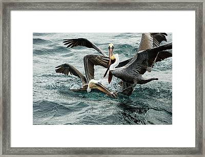 Brown Pelicans Stealing Food Framed Print by Christopher Swann