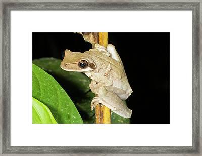 Brown Sided Bromeliad Treefrog Framed Print by Dr Morley Read