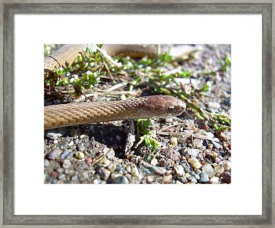 Brown Snake Framed Print