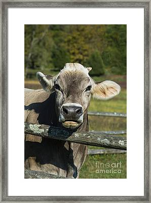 Brown Swiss Cow Framed Print