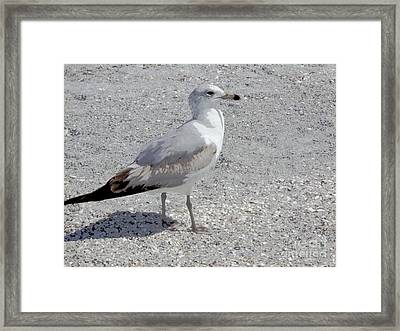 Brown Tailed Gull Framed Print