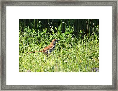 Brown Thrasher 3 Framed Print by Gary Hall