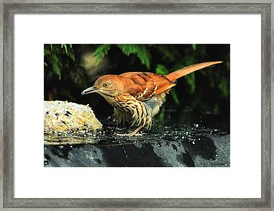Brown Thrasher Framed Print by Dennis Baswell