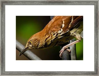 Brown Thrasher Framed Print by Robert L Jackson