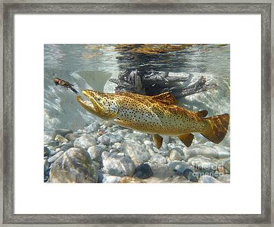 Brown Trout And Crawdad Framed Print