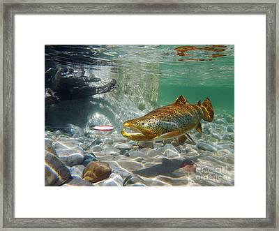 Brown Trout And Dardevle Framed Print