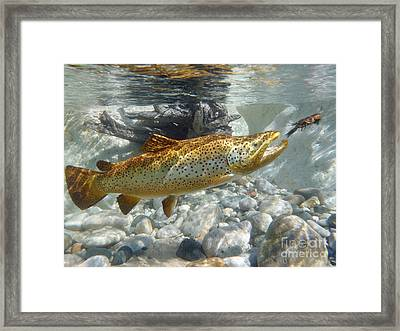 Brown Trout Pursuing Crayfish Framed Print