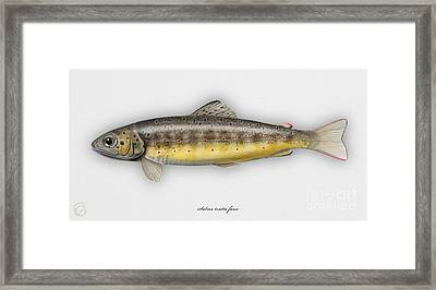 Brown Trout - Salmo Trutta Morpha Fario - Salmo Trutta Fario - Game Fish - Flyfishing Framed Print