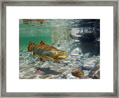 Brown Trout With Red And White Spoon Framed Print