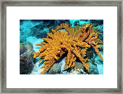 Brown Tube Sponge On A Reef Framed Print by Georgette Douwma