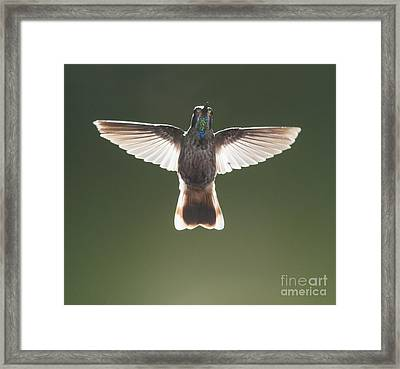 Brown Violet-ear Hummingbird Framed Print