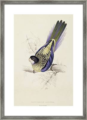 Browns Parakeet Framed Print