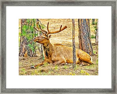Browsing Elk In The Grand Canyon Framed Print by Bob and Nadine Johnston