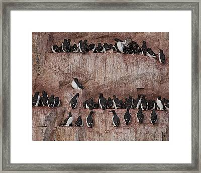 Brunnichs Guillemot Uria Lomvia Framed Print
