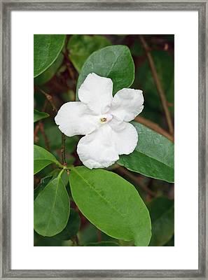 Brunsfeldia Pauciflora Framed Print
