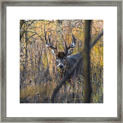 Brush Buck Framed Print