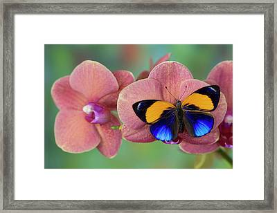 Brush-footed Butterfly, Callithea Framed Print by Darrell Gulin