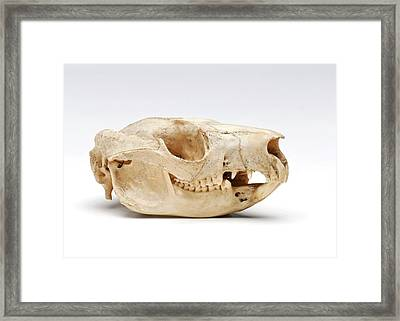 Brush-tailed Possum Skull Framed Print by Ucl, Grant Museum Of Zoology