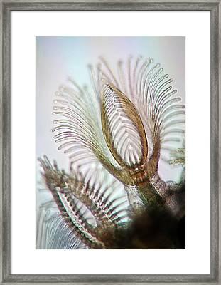 Bryozoans Framed Print
