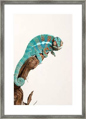 B.summers Panther Chameleon Framed Print by Brian Summers