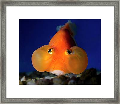 Bubble Eye Goldfish Framed Print