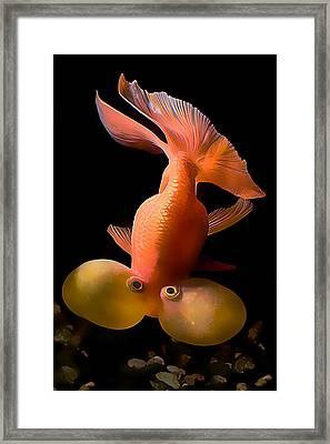 Bubble Eye Goldfish Framed Print by Wernher Krutein
