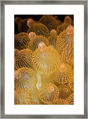 Bubble-tip Anemone Framed Print by Ethan Daniels