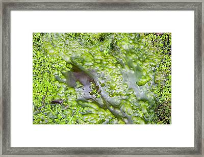 Bubbles Of Oxygen Produced By Algae Framed Print