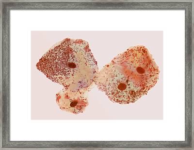 Buccal Smear Framed Print