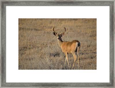 Buck 4 Framed Print