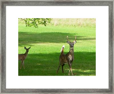 Buck And Doe Framed Print by Aimee L Maher Photography and Art Visit ALMGallerydotcom