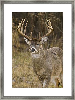 Buck Approaching Framed Print